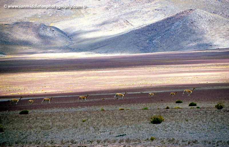 Vicuñas running across the Bolivian Altiplano