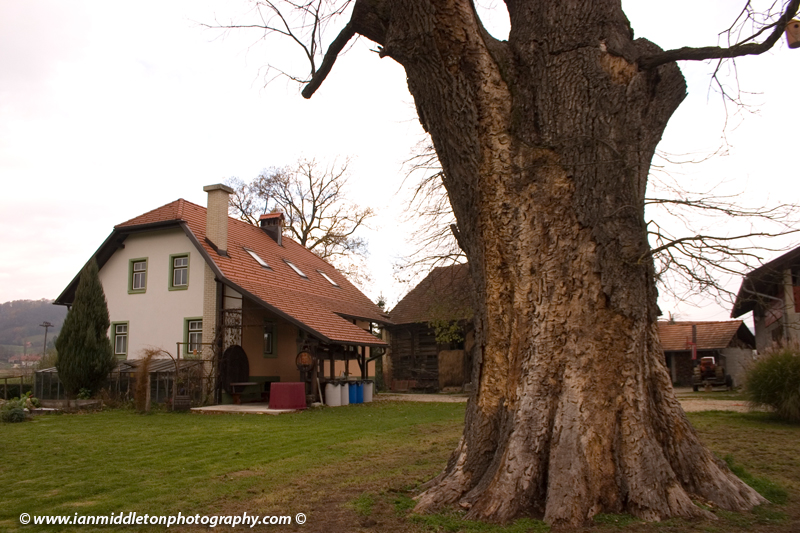 In the village of Gregovce you will find the oak tree with the largest girth in Slovenia