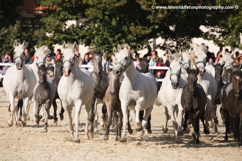 Lipica open day, 2008, Slovenia. The world famous Lipizzaner horses in Slovenia. The Lipica stud farm opens its doors to the public for free once a year and puts on a show for all to see.