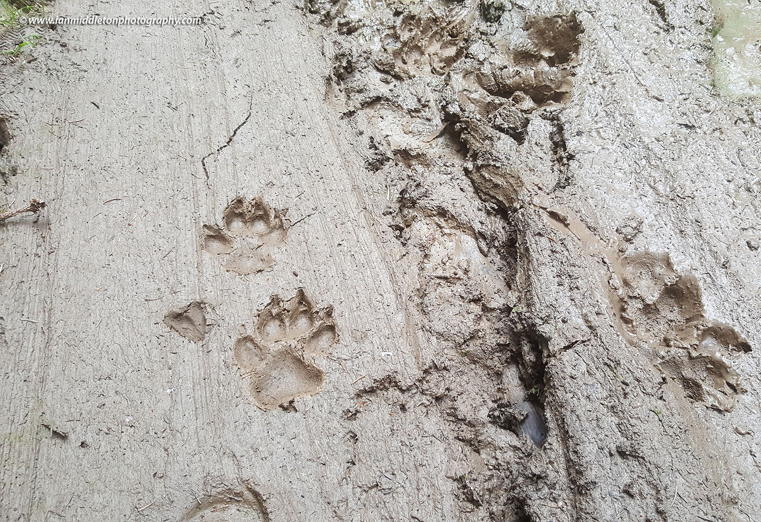 Wolf footprints in a forest in Loski Potok, Slovenia